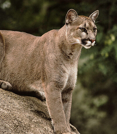 wildlife coalition mountain lion photo